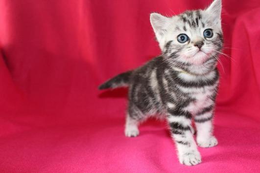Britisch Kurzhaar Kitten!