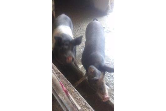 Sau, Schwein, Ferkel