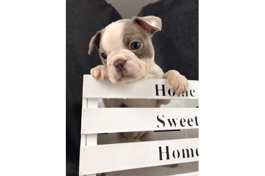 Boston Terrier Babys