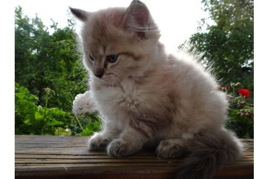 Ragdoll-Kitten Mink