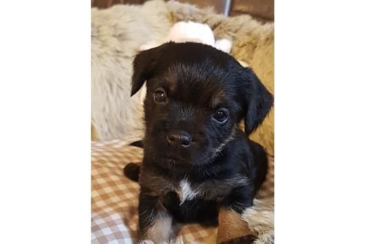 Wunderschöne Border Terrier