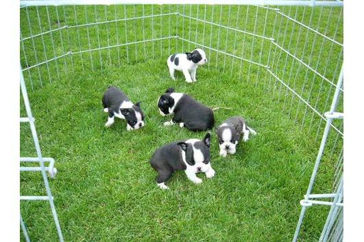Boston Terrier Welpen