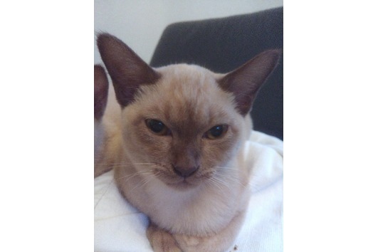 BURMA / Burmesen - Kitten,