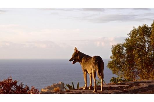 Kanarische Wolfshunde , Lobo
