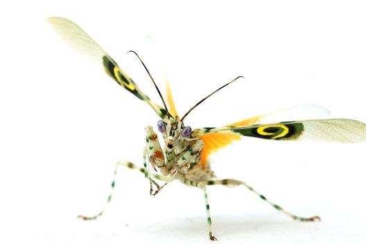 Gottesanbeterin: Pseudocreobotras wahlbergii-