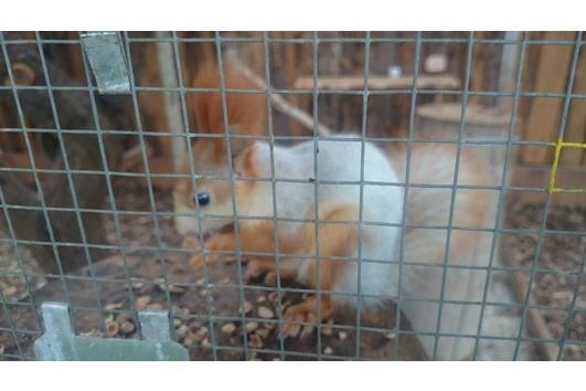 Sibirische Eichhörnchen