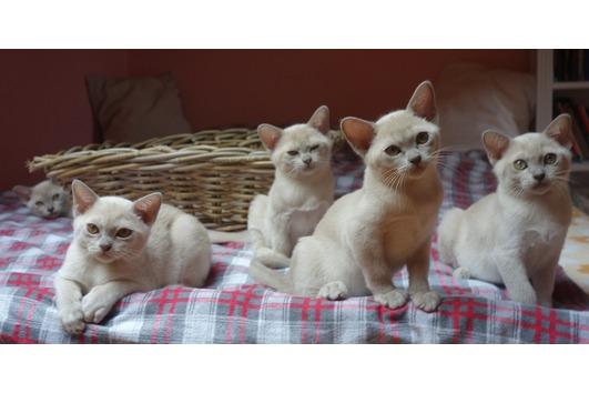 Wunderschöne Burma Kätzchen