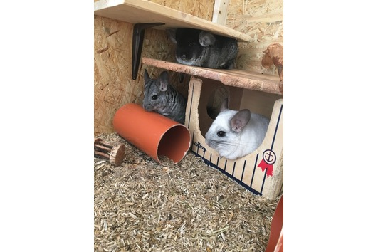 3 Wundervolle Chinchillas