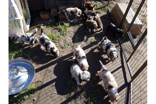 Australien Shepherd Welpen