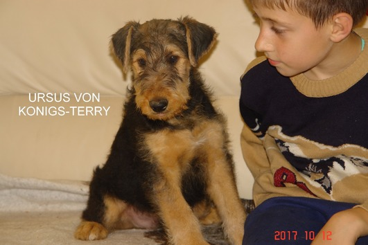 Airedale terrier welpen