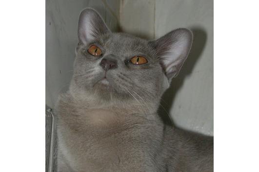 Burma Katzendame, 1,