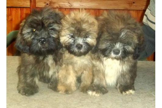 Drei kleine Lhasa