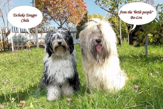 Tibet Terrier Wurfankündigung
