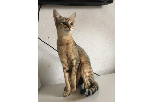SBT Savannah Katze