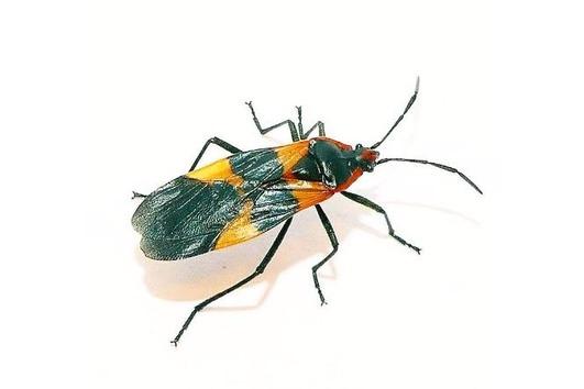 Oncopeltus fasciatus- Milchkrautwanze