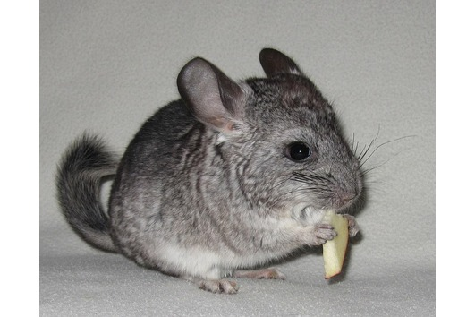 Chinchilla Baby Ebony