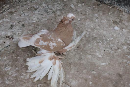 Usbekische Taube Weibchen