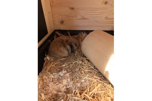 Geimpfte Zwergkaninchen - Kaninchenbabys -