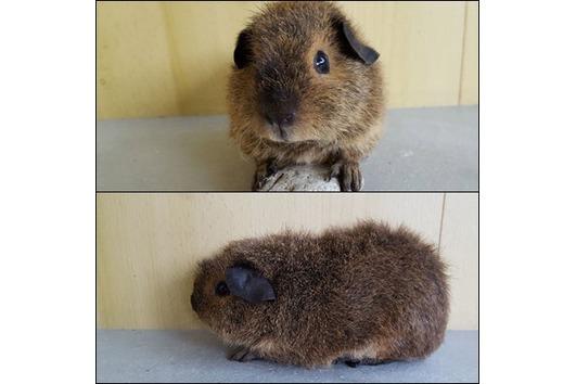 Leihmeerschweinchen * Rent a