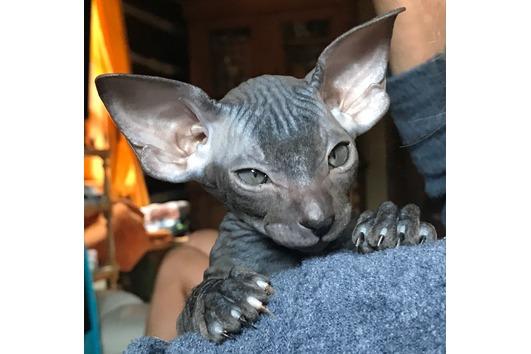 PETERBALD excellent Kitten