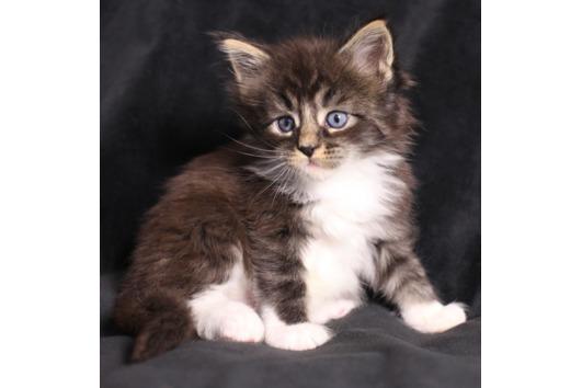 Maine Coon Kitten/