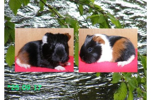 Langhaarige Meerschweinchen-Weibchen -