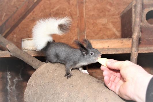 Süße kleine Eichhörnchen