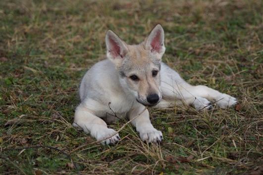 Tschechoslowakische Wolfshund Welpe