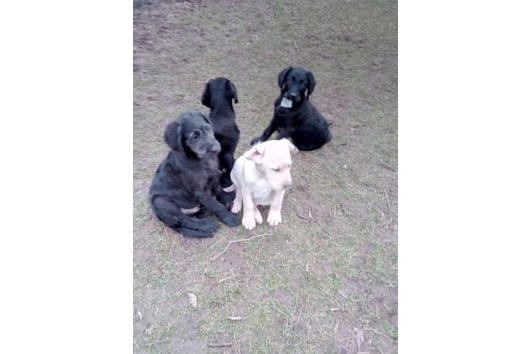 Labrador-Labradoodle-Mix