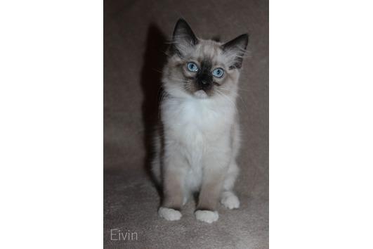 Traumhafte Ragdoll Kitten