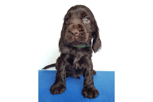 Engl. Cocker Spaniel
