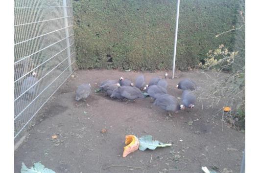 1,3 Perlhühner