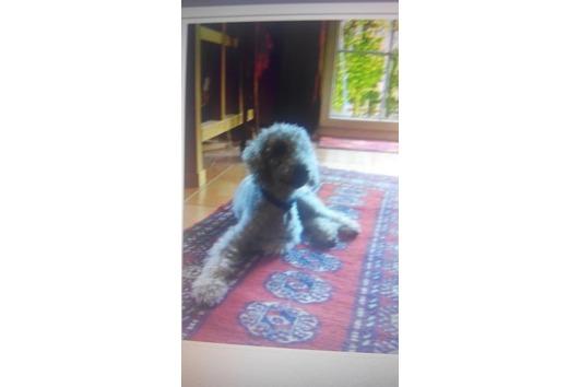 Bedlington Terrier nicht