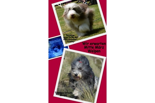 Bearded Collies From