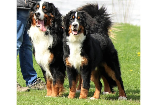 2 Berner Sennenhund
