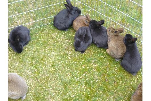 Junge Kaninchen abzugeben (