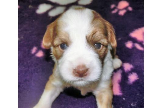 Süsse Tibet Terrier