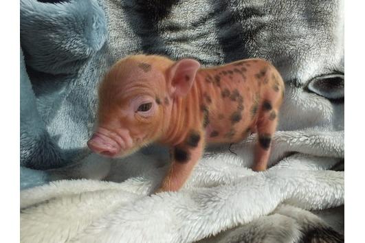 Suche Microschwein eber