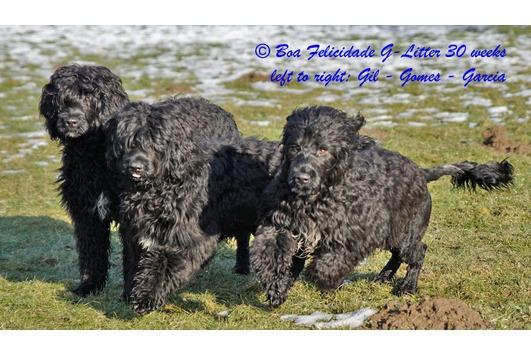 Portugiesischer Wasserhund Gomes