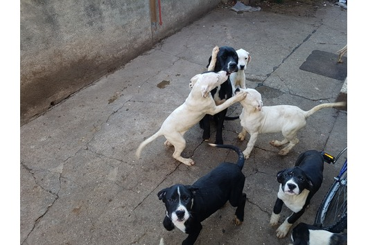 Dogo Argentino Mix