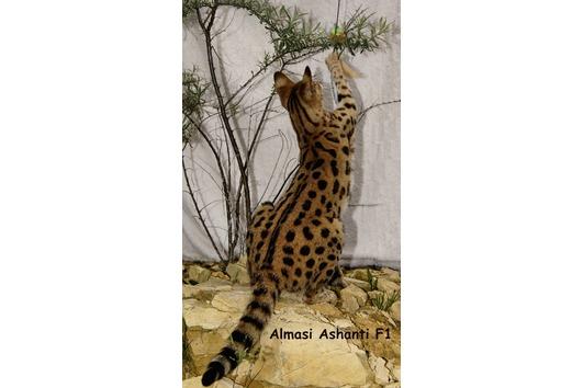 Savannah Cat F5/