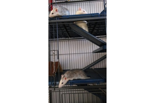 3 Ratten mit