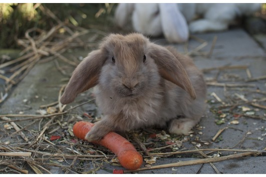 Deutsche Widder Kaninchen