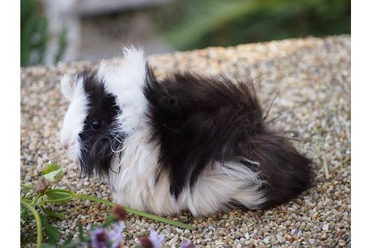 Peruaner Langhaarmeerschweinchen