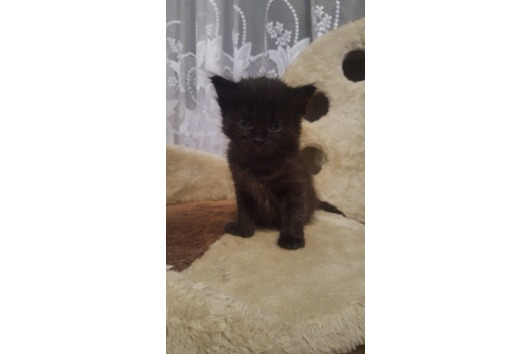 Kitten mix Persen
