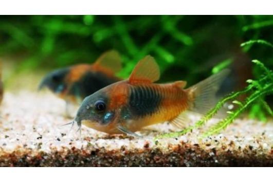 Corydoras Orange Venezuela -