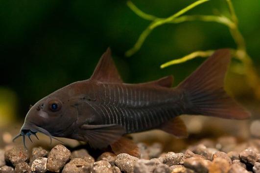 Corydoras Venezuela Black -