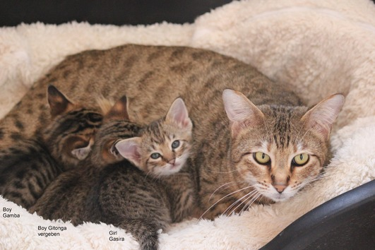 Savannah Katzen - Kitten