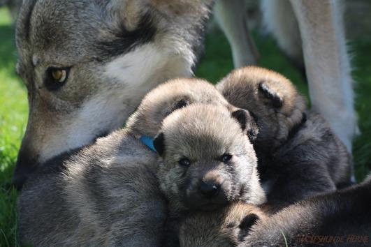 Tschechoslowakische Wolfhunde (Wolfshunde)