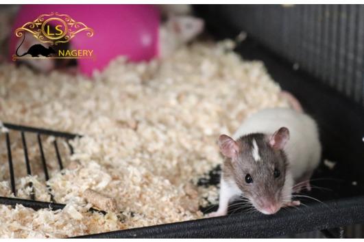 Ratten Weibchen - Siam,
